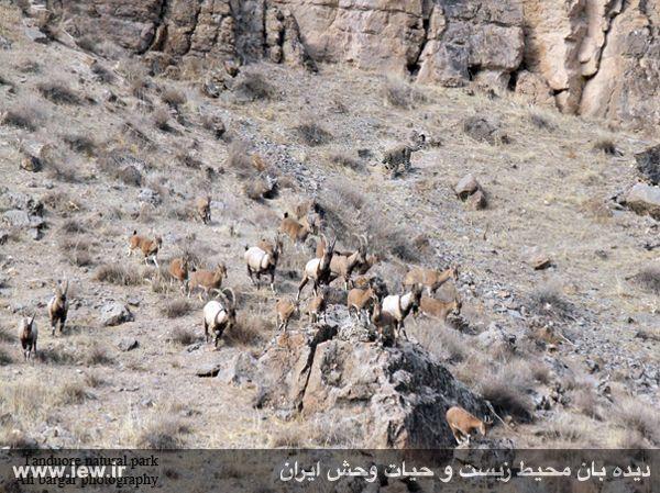 پلنگ ایرانی در حال تعقیب شکار