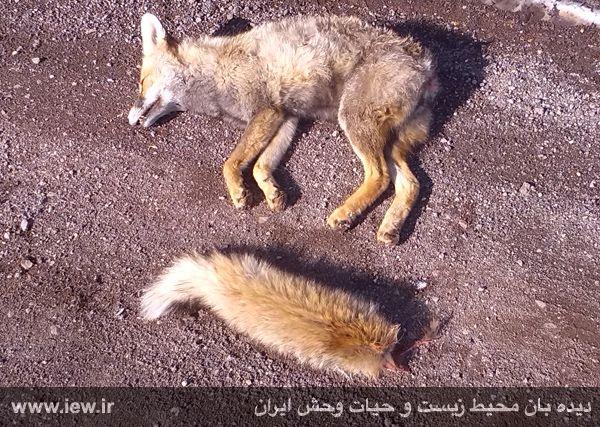 بریدن دم روباه