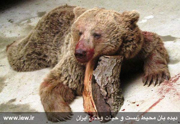 کشتار یک خرس قهوه ای در کلاردشت در روز انس با طبیعت