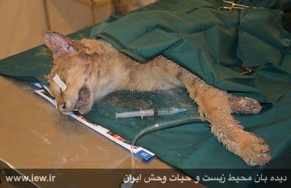 گربه جنگلی مجروح از شلیک گلوله توسط معلم شوشتری نجات یافت