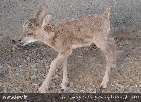 کشف یک بره میش وحشی در کهنوج کرمان