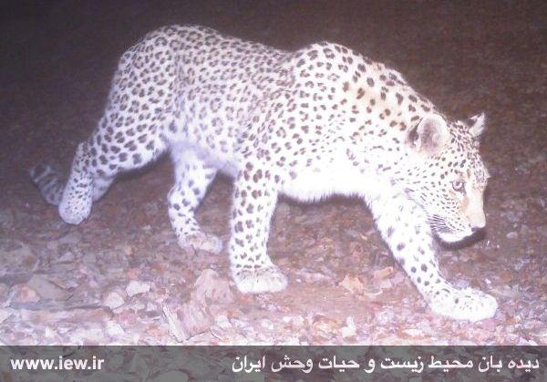 پس از هجده ماه تلاش در دو نقطه از راور کرمان از پلنگ ایرانی تصویربرداری شد