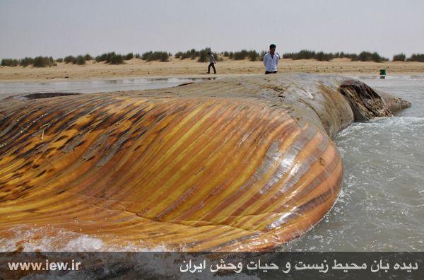 مشاهده لاشه نهنگی با ۱۴ متر طول در سواحل بوشهر