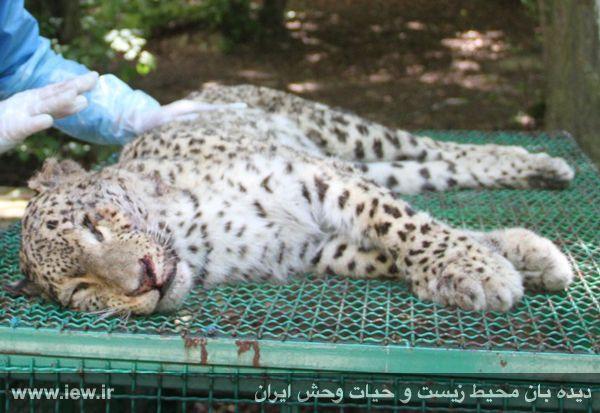 مرگ یک پلنگ ایرانی در اثر برخورد با تریلی در پارک ملی گلستان