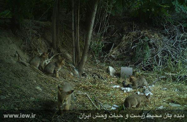 ثبت تصاویر کم نظیر از یک گربه جنگلی و پنج توله اش در اشترانکوه