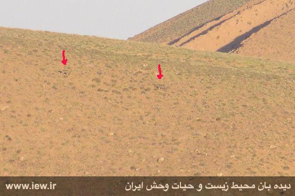 مشاهده و تصویربرداری از دو پلنگ ایرانی در پارک ملی ساریگل