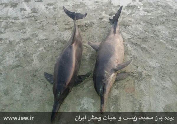 مشاهده لاشه دو عدد دلفین در سواحل شهرستان جاسک