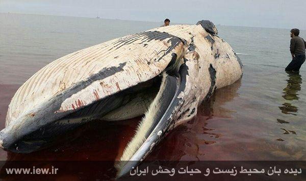 کشف لاشه ی نهنگ در سواحل عسلویه