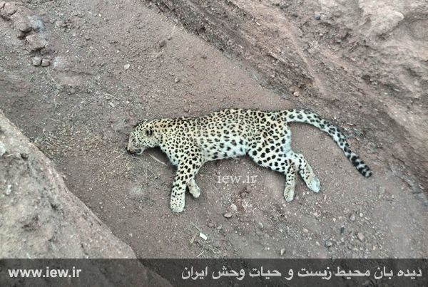 سال تازه با حادثه ای تلخ برای حیات وحش ایران آغاز شد