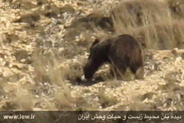 ثبت تصاویری از یک خرس قهوه ای