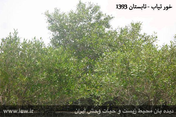 940501 tiyab hara 1 تخریب گسترده جنگل های حفاظت شده حرا در خور تیاب به دلیل آلودگی نفتی