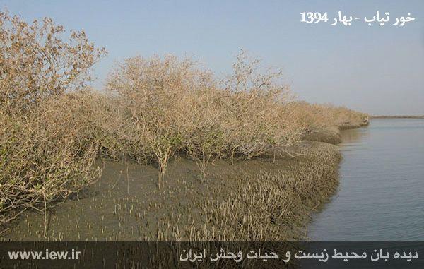 940501 tiyab hara 2 تخریب گسترده جنگل های حفاظت شده حرا در خور تیاب به دلیل آلودگی نفتی