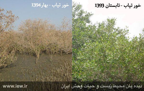 940501 tiyab hara تخریب گسترده جنگل های حفاظت شده حرا در خور تیاب به دلیل آلودگی نفتی
