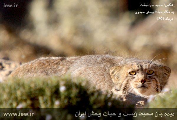 مشاهده گربه پالاس در ایران
