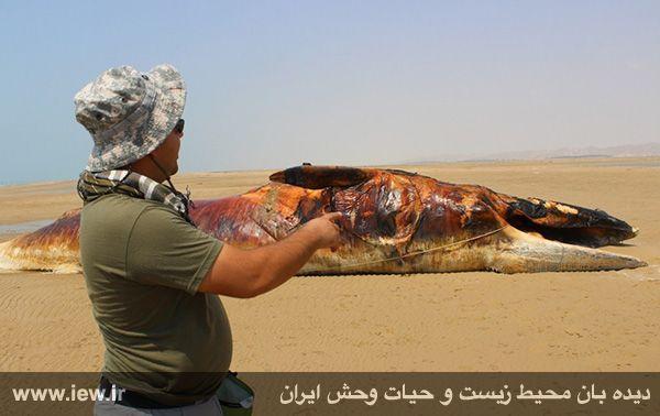 940601 nahangh bushehr 1 دیدن لاشه نهنگی با ۱۳ متر طول و همچنین ۸ تن وزن در سواحل بوشهر