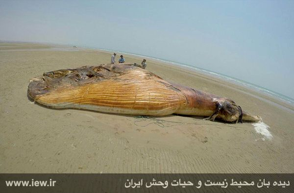 940601 nahangh bushehr 2 دیدن لاشه نهنگی با ۱۳ متر طول و همچنین ۸ تن وزن در سواحل بوشهر
