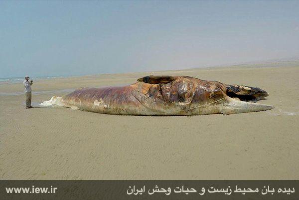 940601 nahangh bushehr 3 دیدن لاشه نهنگی با ۱۳ متر طول و همچنین ۸ تن وزن در سواحل بوشهر
