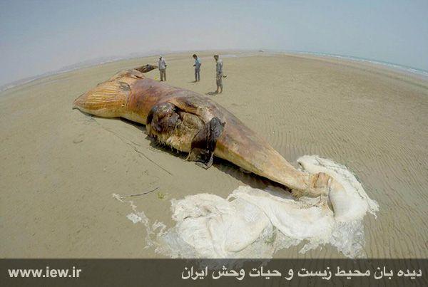 940601 nahangh bushehr 4 دیدن لاشه نهنگی با ۱۳ متر طول و همچنین ۸ تن وزن در سواحل بوشهر