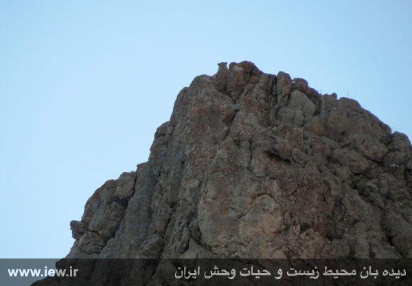 پلنگ ایرانی در پارک ملی لار