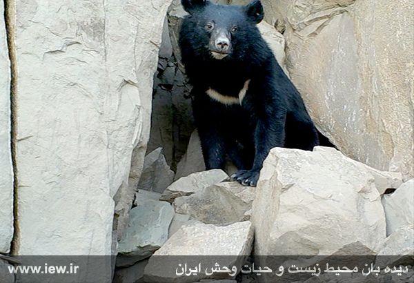 خرس سیاه آسیایی در بشاگرد هرمزگان