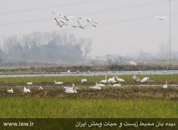 940913 sorkhrud ghoo 10 حدود ۵۰۰ قوی فریادکش در شالیزارهای سرخرود فرود آمده اند