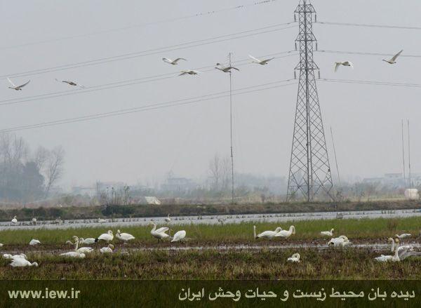 940913 sorkhrud ghoo 11 حدود ۵۰۰ قوی فریادکش در شالیزارهای سرخرود فرود آمده اند