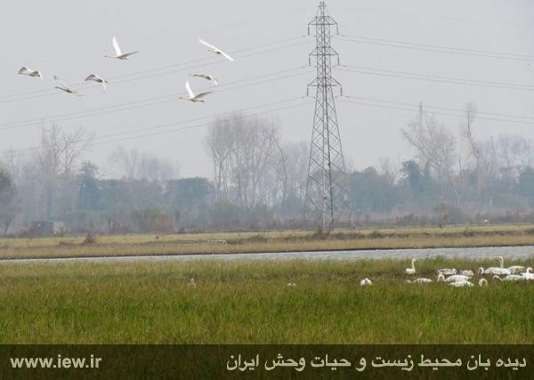 940913 sorkhrud ghoo 12 حدود ۵۰۰ قوی فریادکش در شالیزارهای سرخرود فرود آمده اند