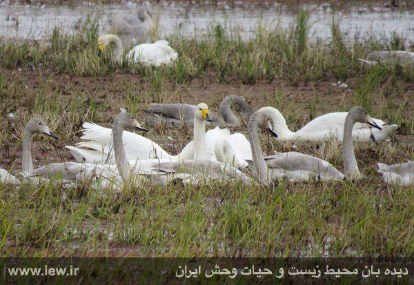 940913 sorkhrud ghoo 2 حدود ۵۰۰ قوی فریادکش در شالیزارهای سرخرود فرود آمده اند