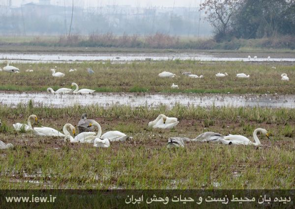 940913 sorkhrud ghoo 5 حدود ۵۰۰ قوی فریادکش در شالیزارهای سرخرود فرود آمده اند