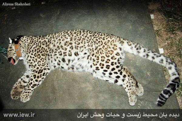 940923 iran tandure 1 مراحل زنده گیری و همچنین نصب گردنبند ردیاب بر روی پلنگ ماده در پارک ملی تندوره / عکسی