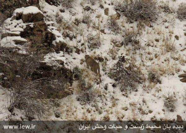940923 iran tandure 10 مراحل زنده گیری و همچنین نصب گردنبند ردیاب بر روی پلنگ ماده در پارک ملی تندوره / عکسی
