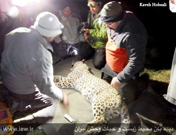 940923 iran tandure 2 مراحل زنده گیری و همچنین نصب گردنبند ردیاب بر روی پلنگ ماده در پارک ملی تندوره / عکسی