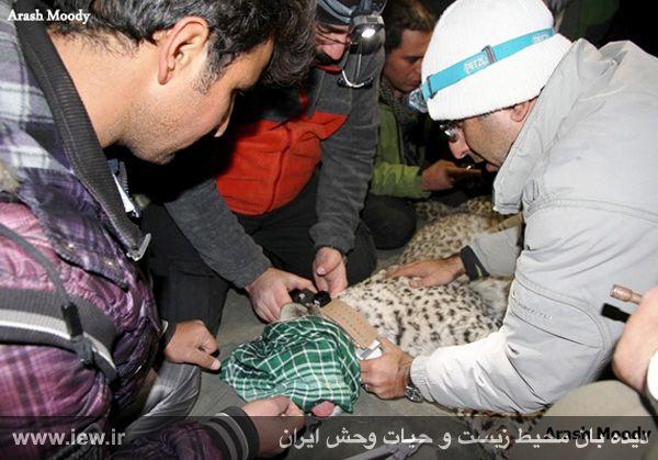 940923 iran tandure 31 مراحل زنده گیری و همچنین نصب گردنبند ردیاب بر روی پلنگ ماده در پارک ملی تندوره / عکسی
