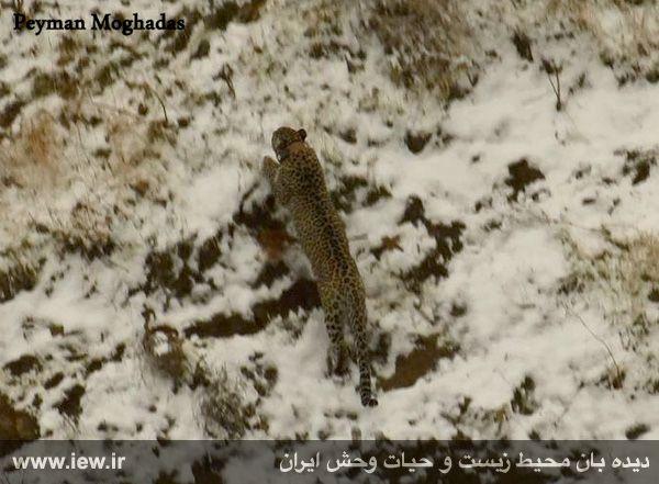 940923 iran tandure 7 مراحل زنده گیری و همچنین نصب گردنبند ردیاب بر روی پلنگ ماده در پارک ملی تندوره / عکسی