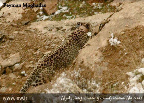940923 iran tandure 8 مراحل زنده گیری و همچنین نصب گردنبند ردیاب بر روی پلنگ ماده در پارک ملی تندوره / عکسی