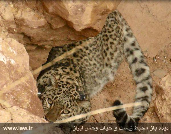940923 iran tandure 9 مراحل زنده گیری و همچنین نصب گردنبند ردیاب بر روی پلنگ ماده در پارک ملی تندوره / عکسی
