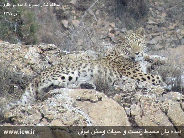 پلنگ ایرانی در منطقه شکار ممنوع خرمنه سر طارم