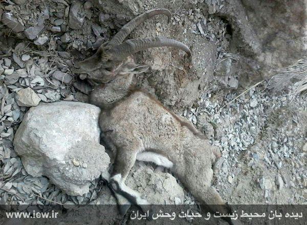 941206 khojir مردن و مرگ ۶۰ کل و همچنین قوچ وحشی در پی شیوع طاعون در پارک ملی خجیر / به گفته عکسی
