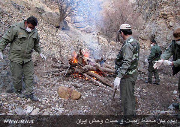 941211 tauon khojir 1 مردن و مرگ ۶۰ کل و همچنین قوچ وحشی در پی شیوع طاعون در پارک ملی خجیر / به گفته عکسی