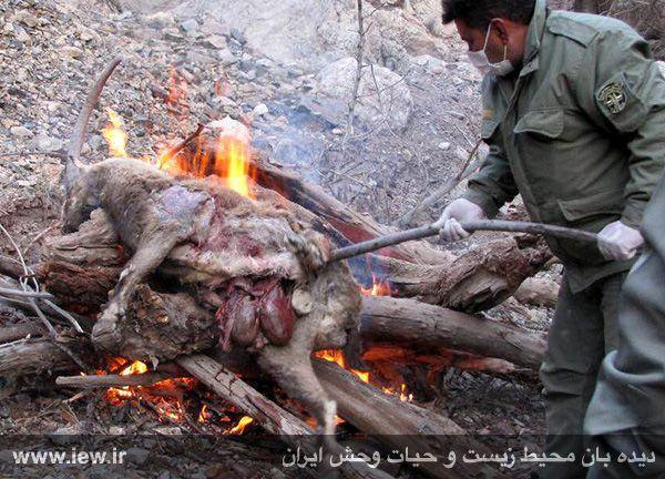 941211 tauon khojir 2 مردن و مرگ ۶۰ کل و همچنین قوچ وحشی در پی شیوع طاعون در پارک ملی خجیر / به گفته عکسی