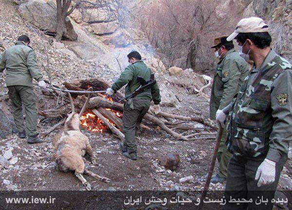 941211 tauon khojir 3 مردن و مرگ ۶۰ کل و همچنین قوچ وحشی در پی شیوع طاعون در پارک ملی خجیر / به گفته عکسی