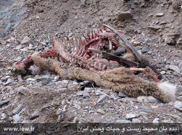 941211 tauon khojir 5 مردن و مرگ ۶۰ کل و همچنین قوچ وحشی در پی شیوع طاعون در پارک ملی خجیر / به گفته عکسی
