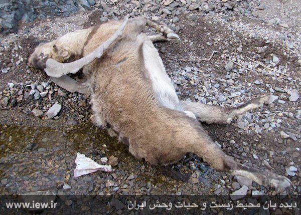 941211 tauon khojir 6 مردن و مرگ ۶۰ کل و همچنین قوچ وحشی در پی شیوع طاعون در پارک ملی خجیر / به گفته عکسی