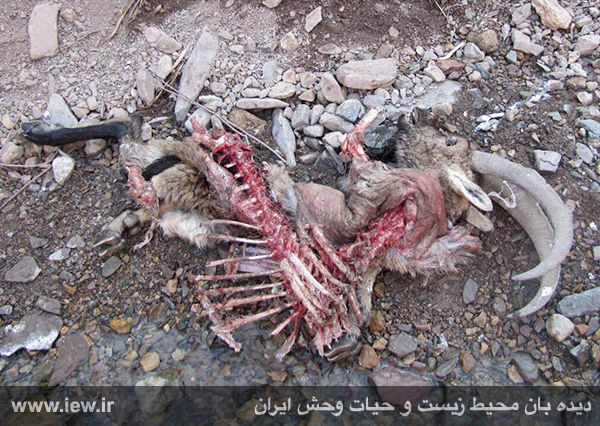 941211 tauon khojir 7 مردن و مرگ ۶۰ کل و همچنین قوچ وحشی در پی شیوع طاعون در پارک ملی خجیر / به گفته عکسی