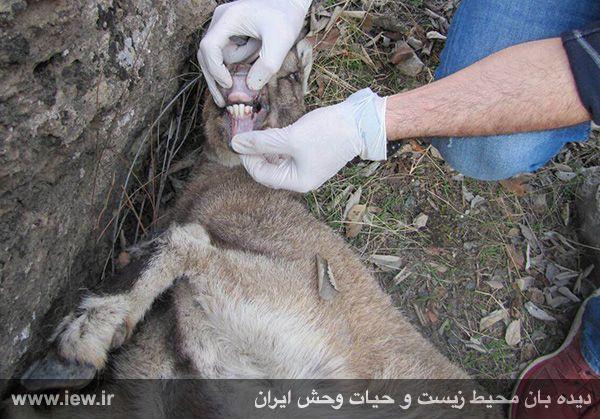 941211 tauon khojir 9 مردن و مرگ ۶۰ کل و همچنین قوچ وحشی در پی شیوع طاعون در پارک ملی خجیر / به گفته عکسی