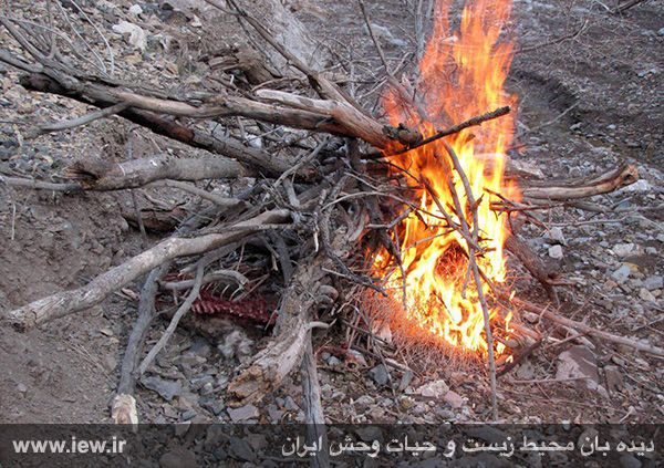 941211 tauon khojir مردن و مرگ ۶۰ کل و همچنین قوچ وحشی در پی شیوع طاعون در پارک ملی خجیر / به گفته عکسی