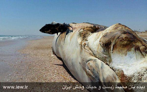 950204 gheshm 1 لاشه نهنگی با ده متر طول در سواحل قشم به گل نشست