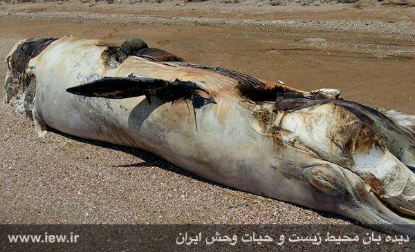 950204 gheshm 2 لاشه نهنگی با ده متر طول در سواحل قشم به گل نشست