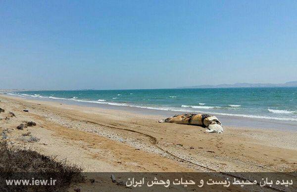 950204 gheshm 3 لاشه نهنگی با ده متر طول در سواحل قشم به گل نشست