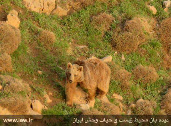 950323 kamali alborz 2 در رخدادی کم مثل از پلنگ و خرس قهوه ای در البرز مرکزی تصویربرداری شد